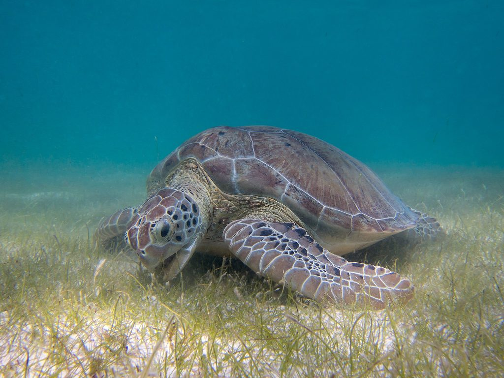 turtle feeding on grass
