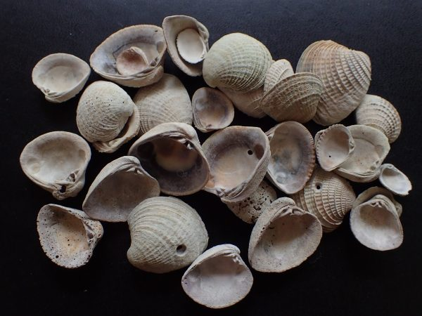 group of white shells