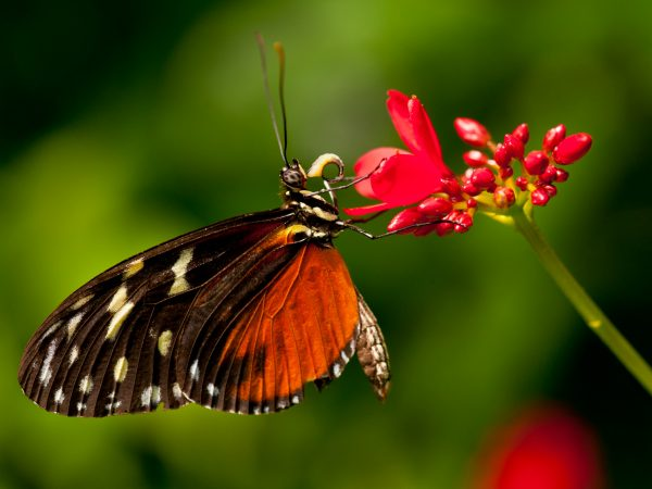 orange butterfly drinking from red flower