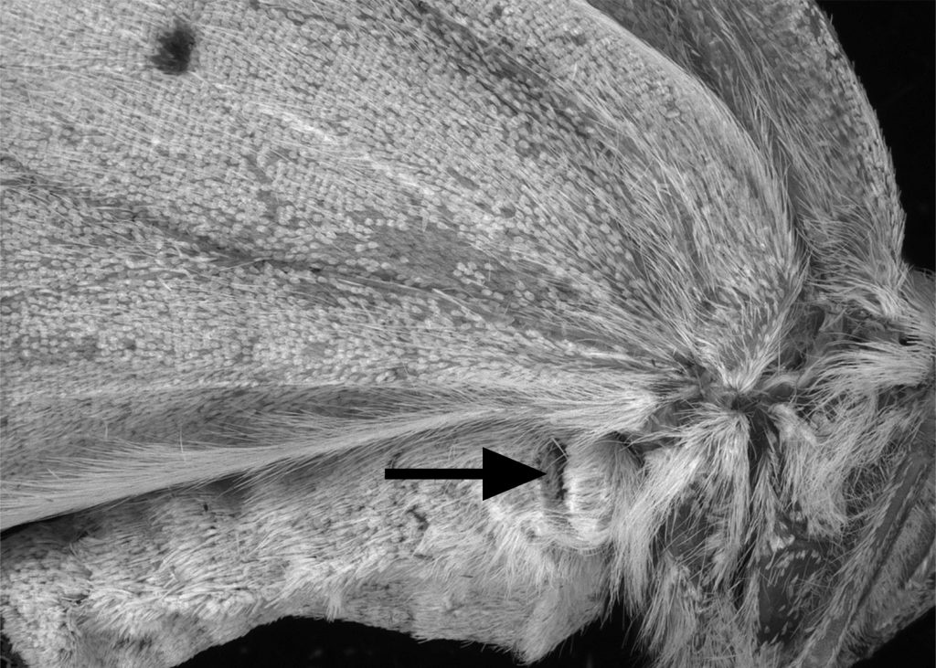 black and white close-up of moth ear location