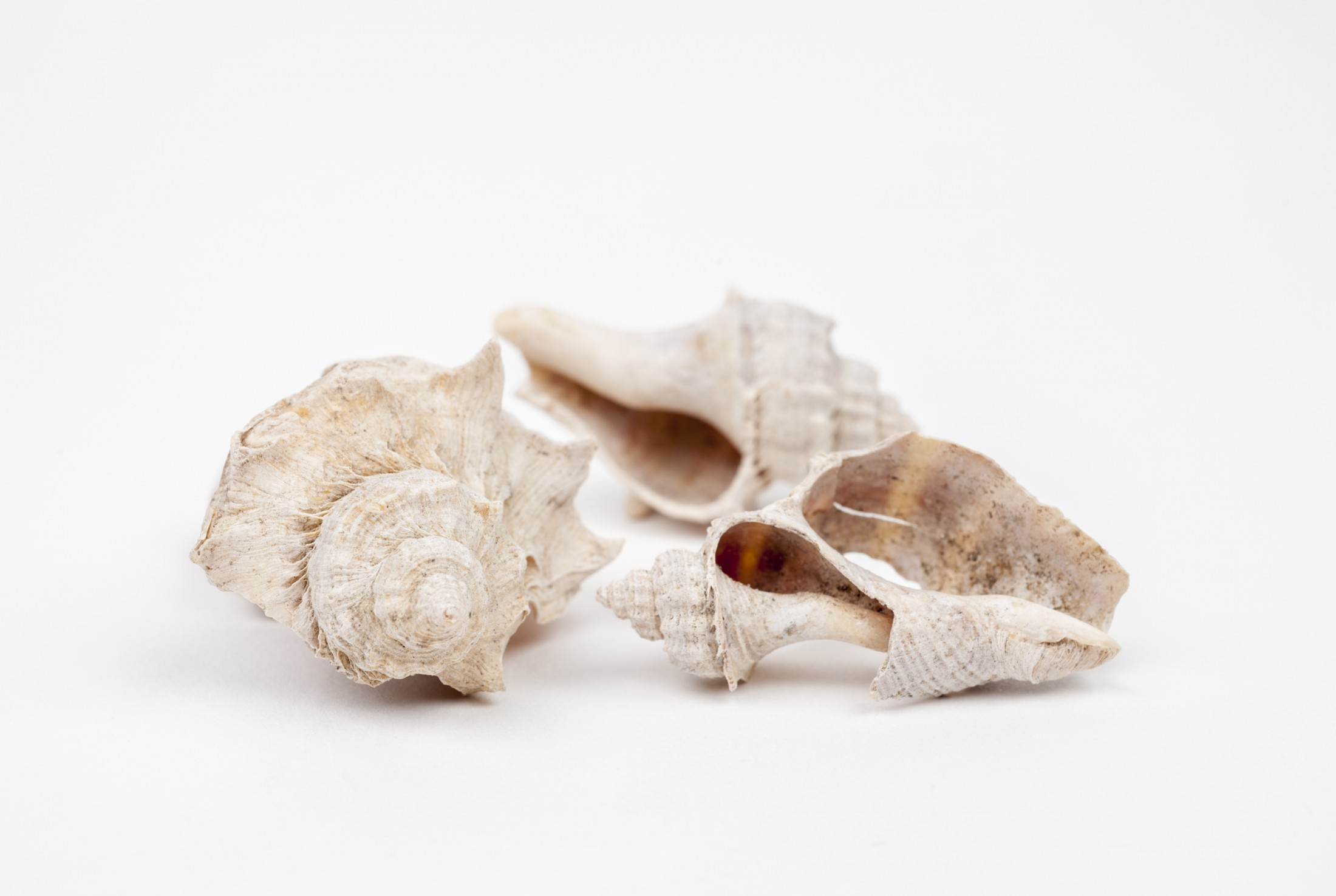 White shells from the environmental archaeology collection