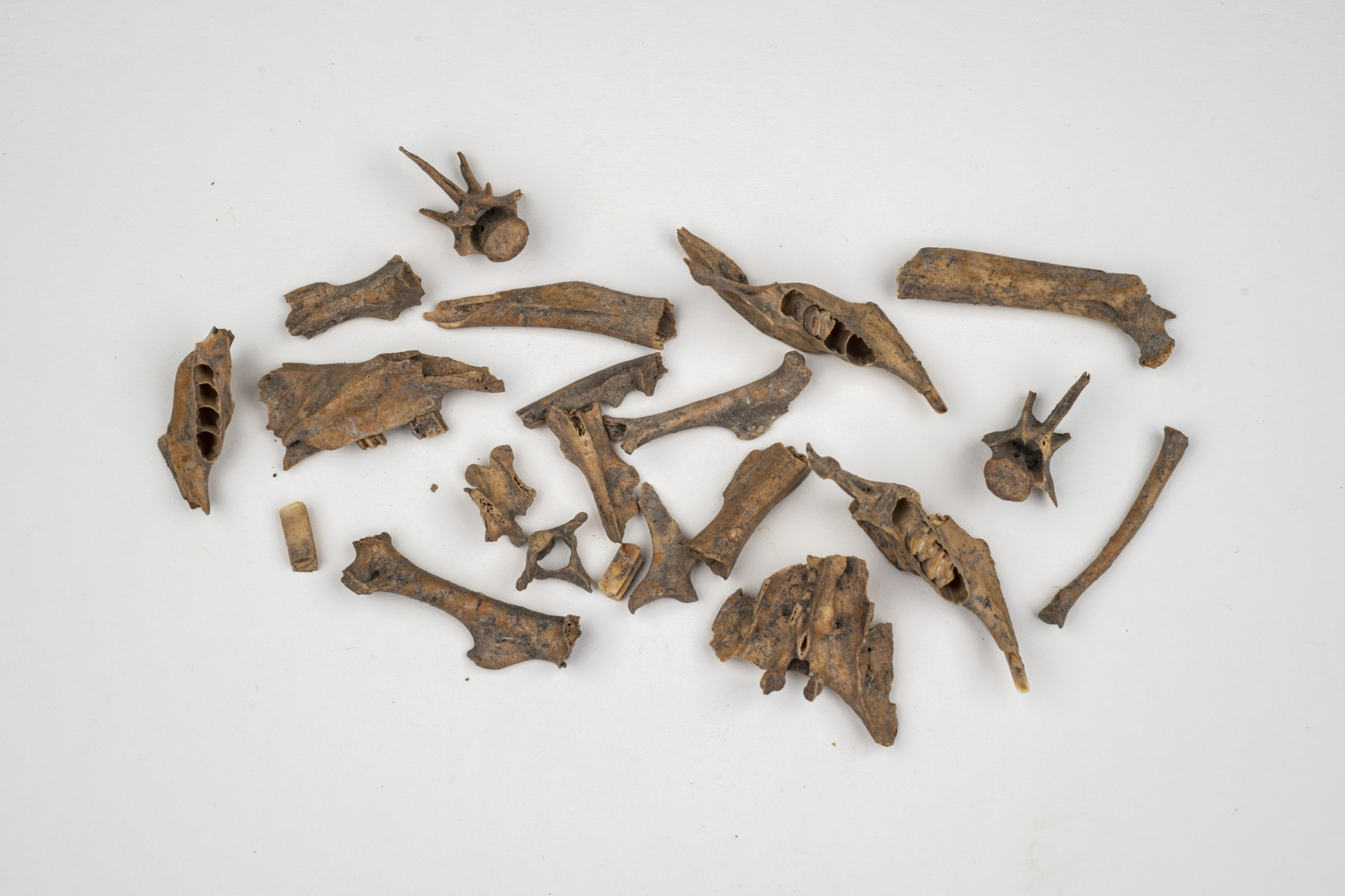 Small rodent bones against a white background