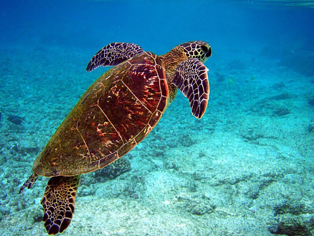 sea turtle in ocean