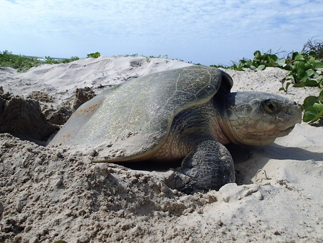 sea turtle digging nest on beach