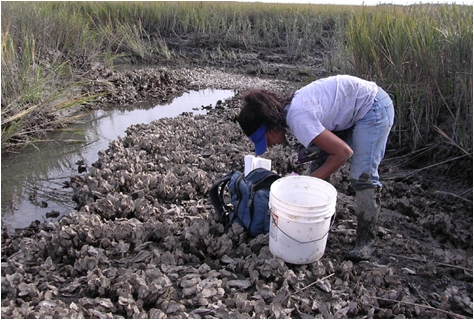 A researcher in the field examines oysters