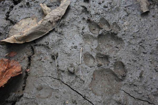 tiger prints in mud