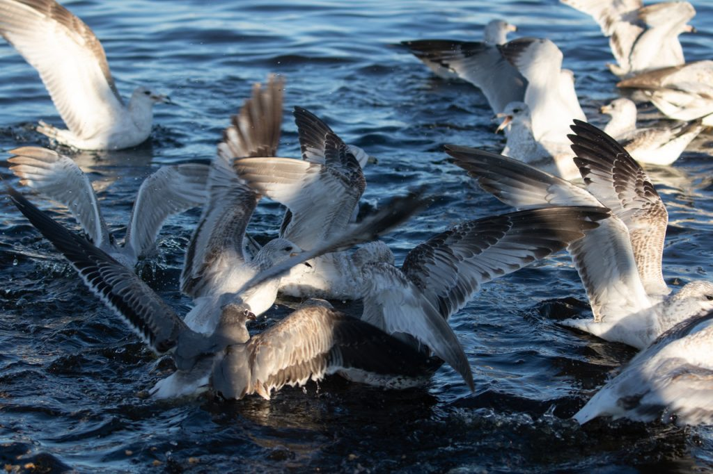 gulls fighting in water
