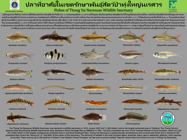 poster showing the freshwater fishes of Thung Yai