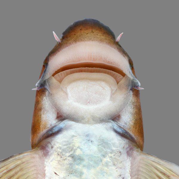 fish mouthparts