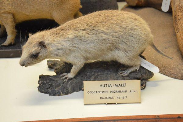 hutia museum specimen