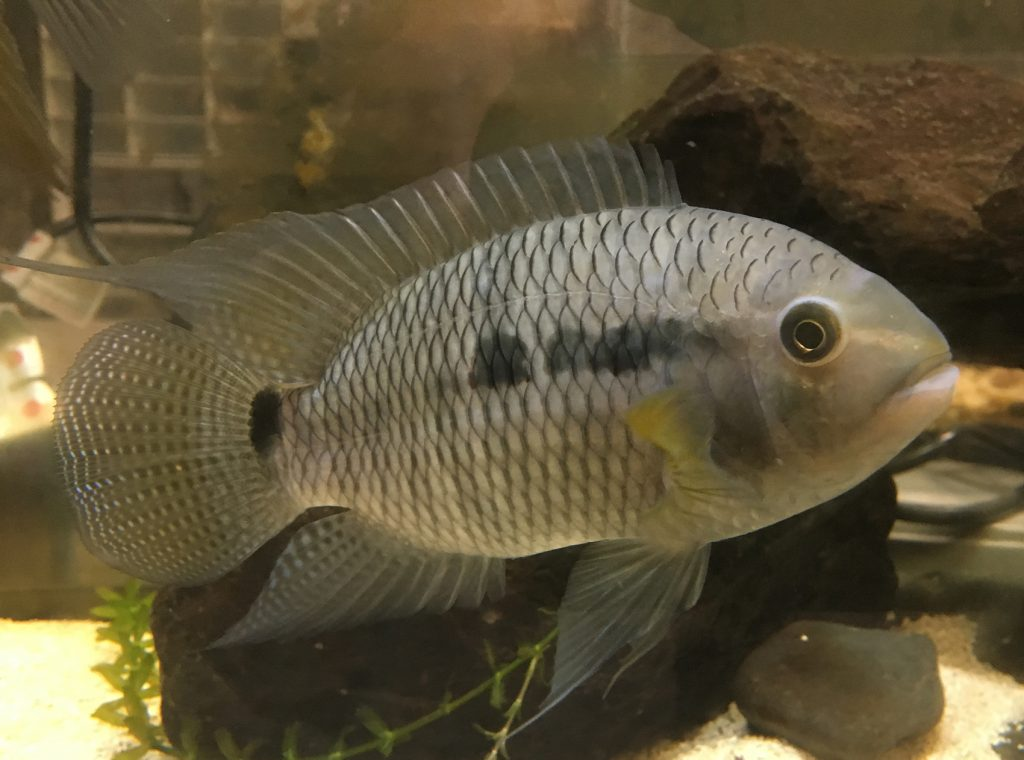 beige fish with dark spots