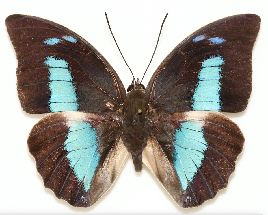 A close-up of a blue and black butterfly
