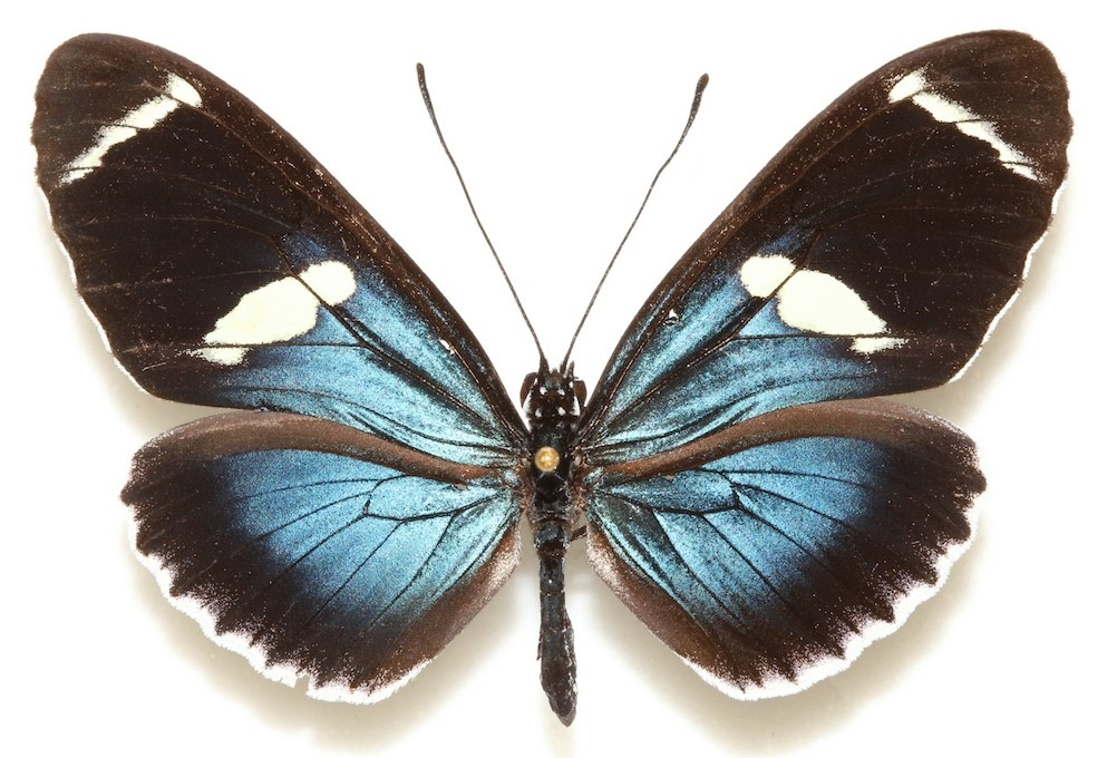 A blue and white butterfly