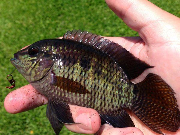 dark freshwater fish