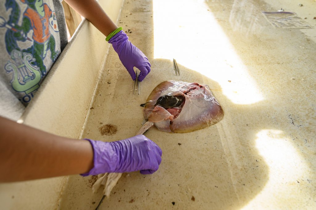 dissected stingray