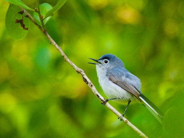 blue-gray bird