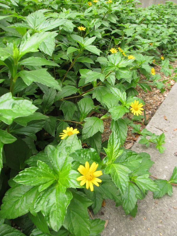 yellow daisylike flowers