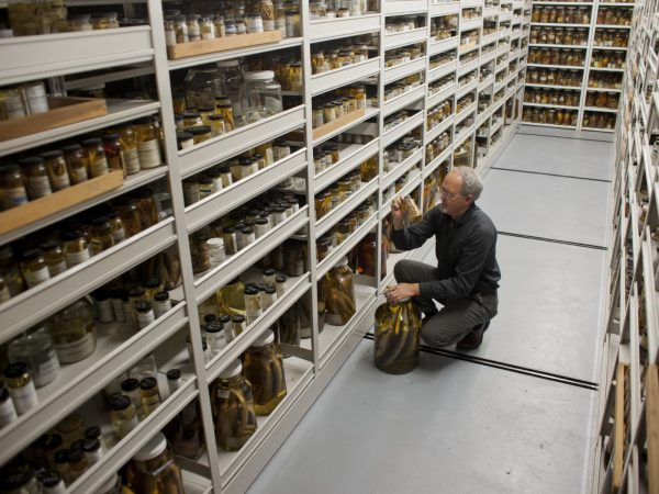 Scientist examining ichthyology specimens
