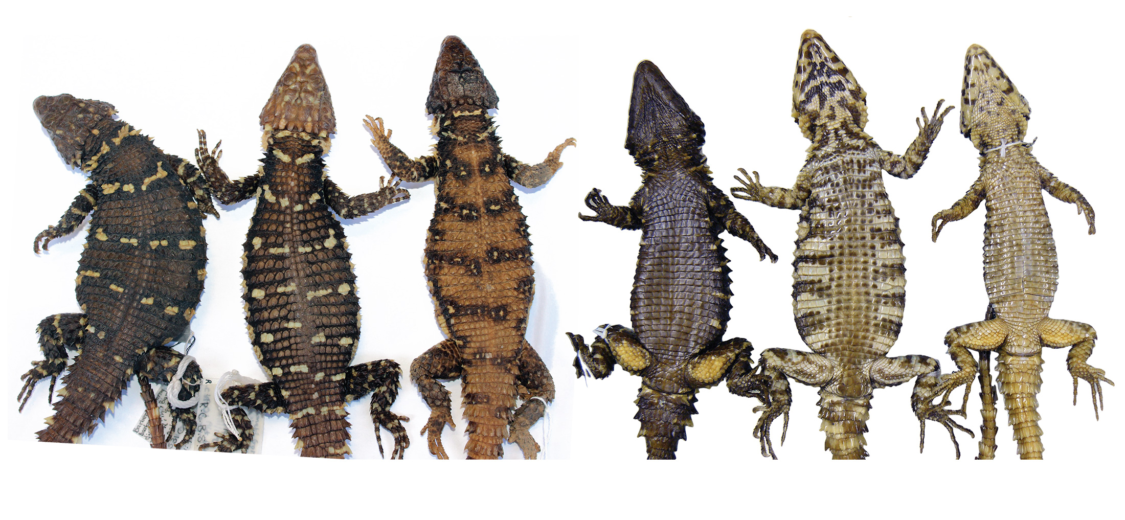 A row of Smaug lizards sit on a white background, some with darker scales and yellow markings and others with lighter scales and brown markings