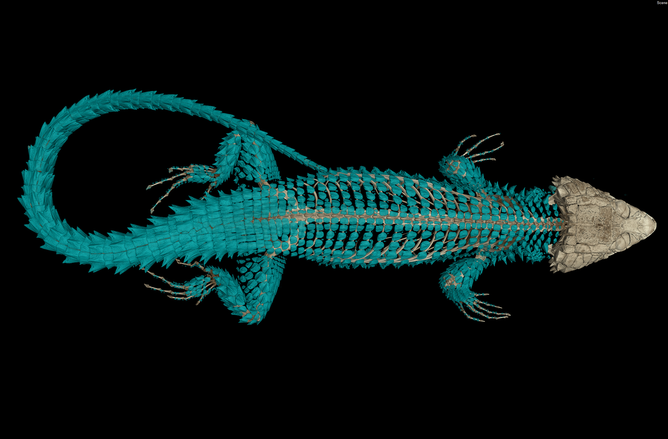 CT scan of a girdled lizard