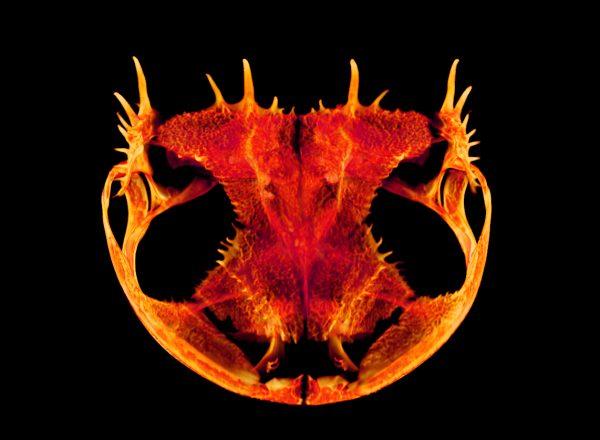 spiky frog skull