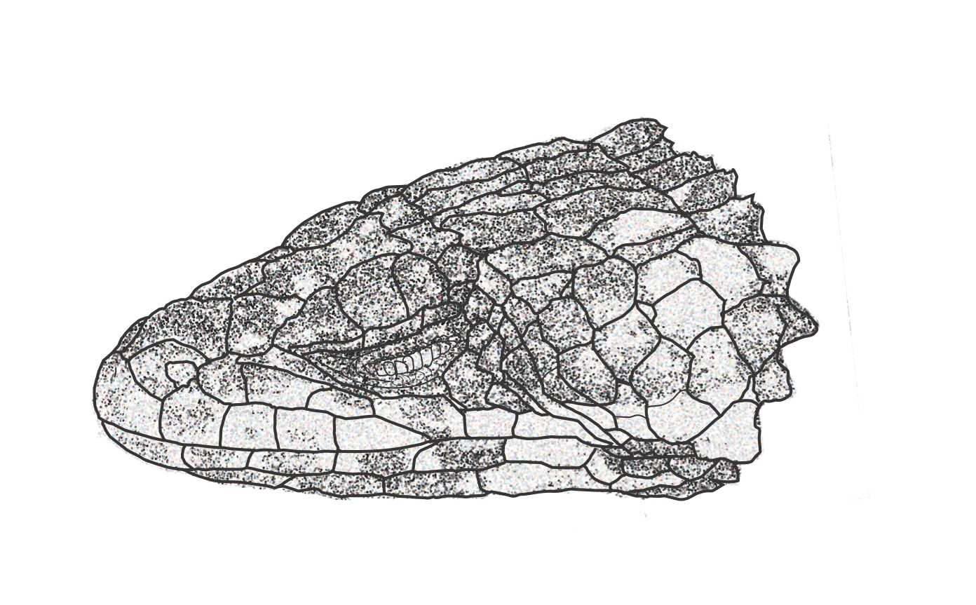 Rendering of S. swazicus