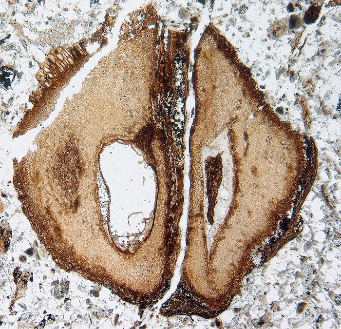 mahogany fruit fossil