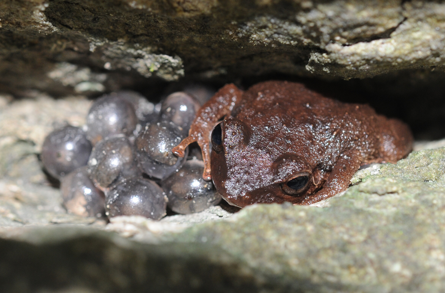 A brown frog sits over gray-looking eggs under a rock