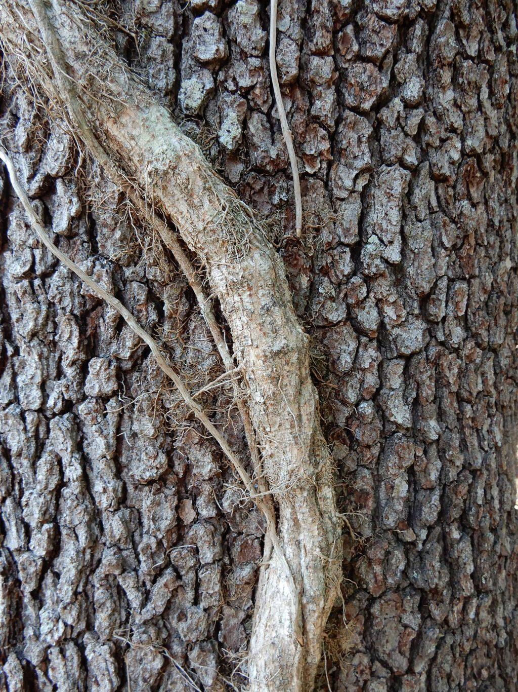 woody vine
