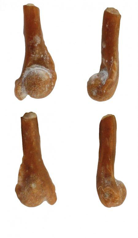 coqui arm bone fossil