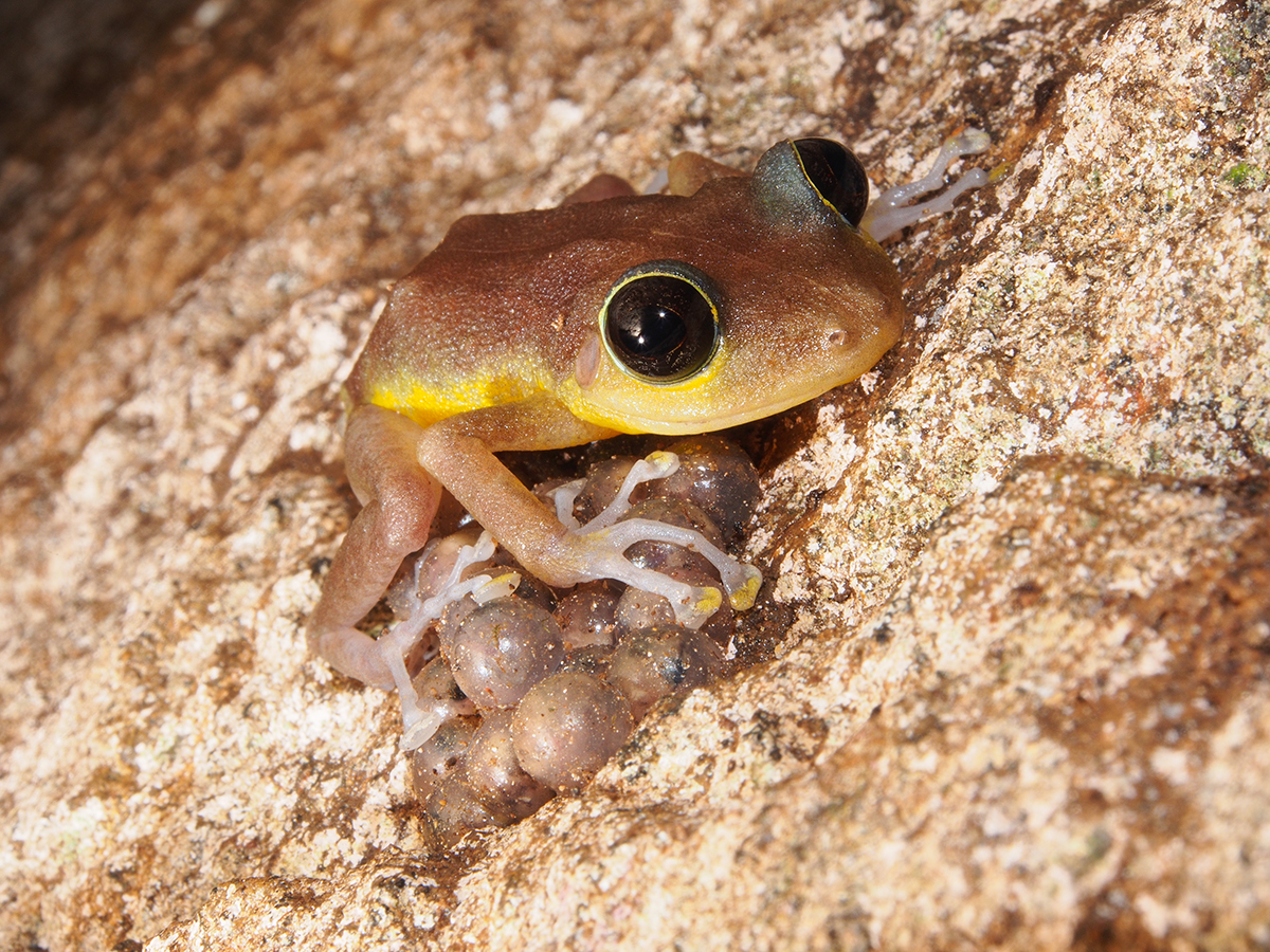 A brown frog with large black eyes and a yellow stripe sits on eggs on a rock