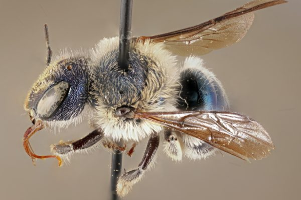 bee specimen