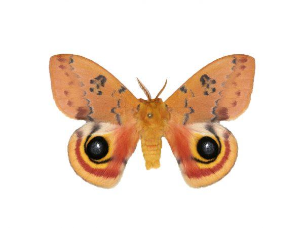 An io moth