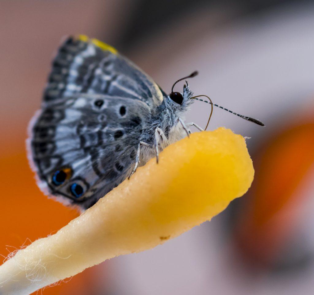 butterfly feeding on Gatorade-soaked swab