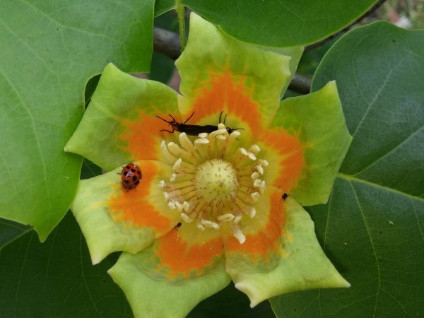 insects on a tulip poplar flower
