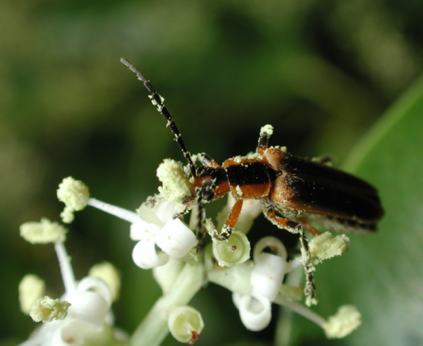 soldier beetle on white flower