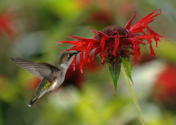 hummingbird feeding on red flower