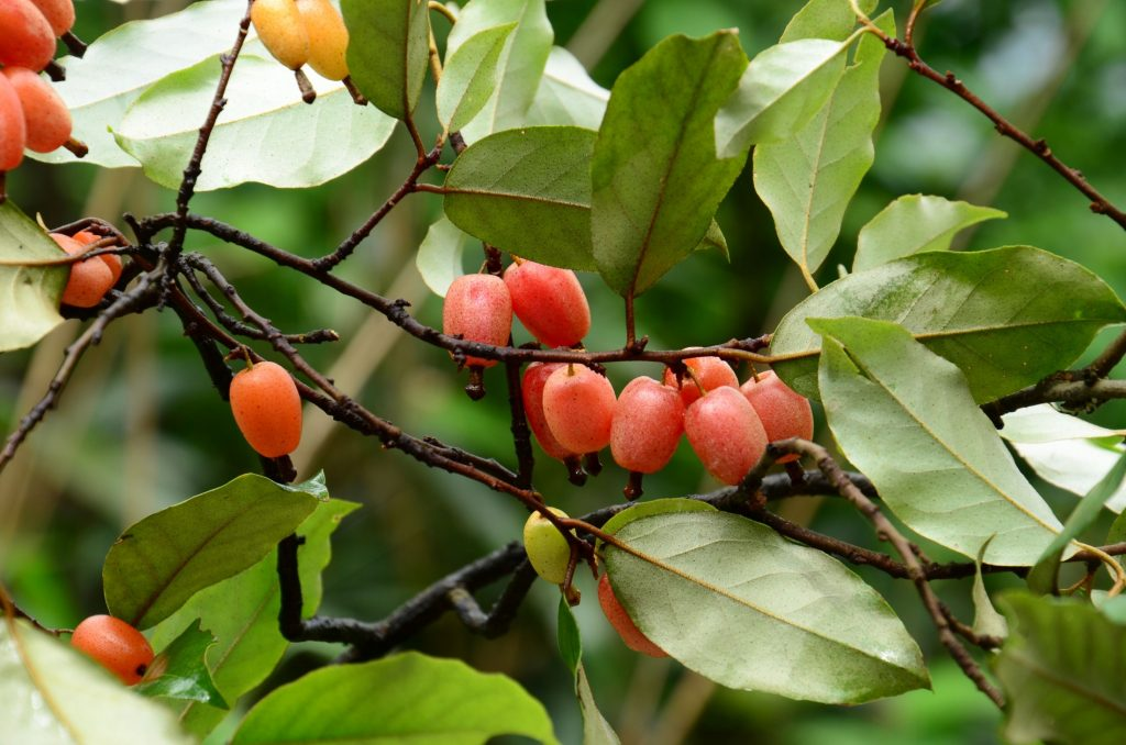 pink fruit on tree