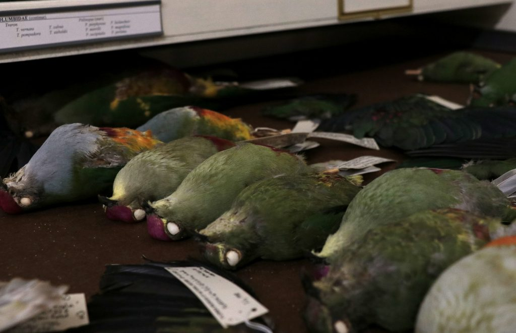 colorful pigeon specimens in drawer