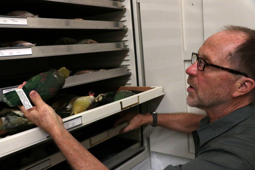 David Steadman holds a green pigeon