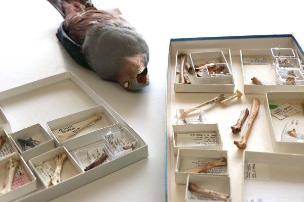 pigeon specimen with boxes of bones