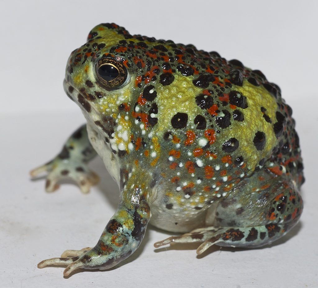 A burrowing frog