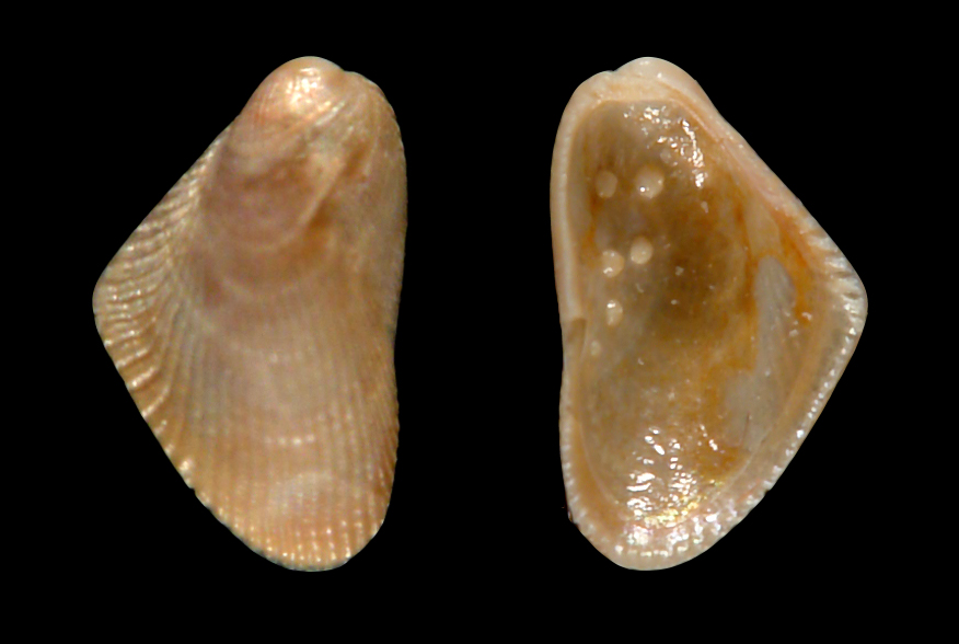 fossil bivalve with blister pearls