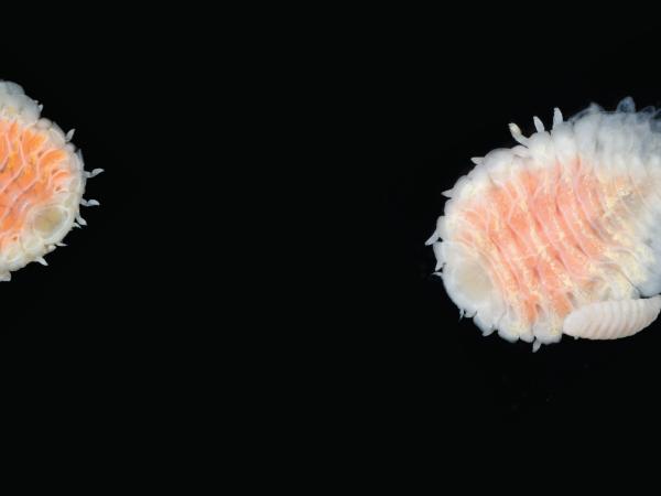 parasitic isopod