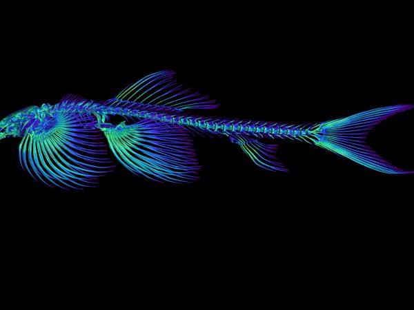 Skeletal fish