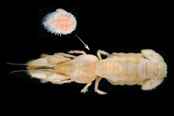parasite on shrimp