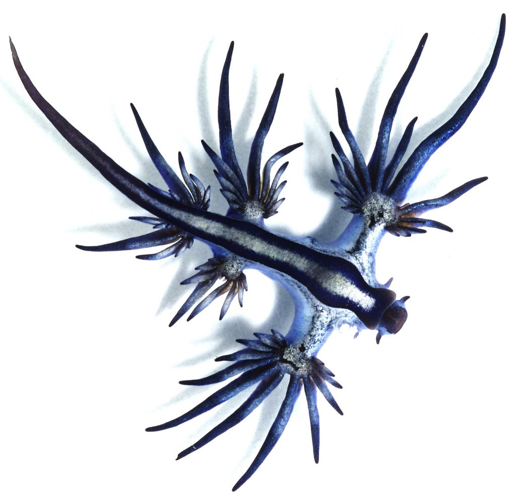 A blue sea slug