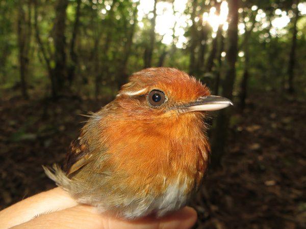 rusty-colored bird