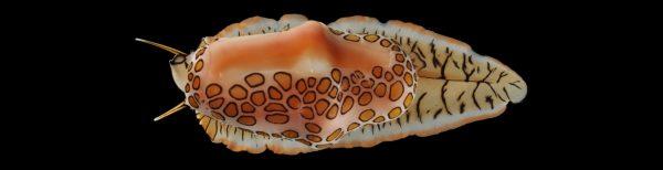 pink slug with orange spots