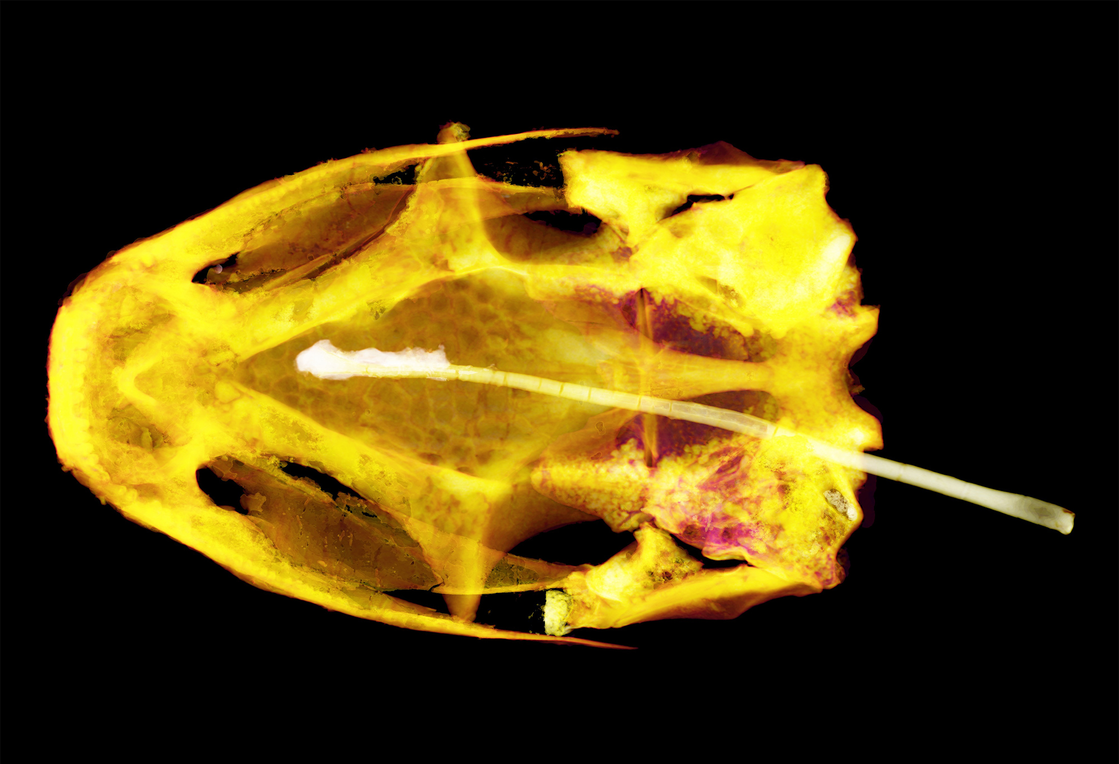 The fossil skull is seen from above, lighted in yellow